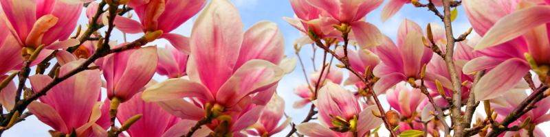 Магнолия (фото цветов)
