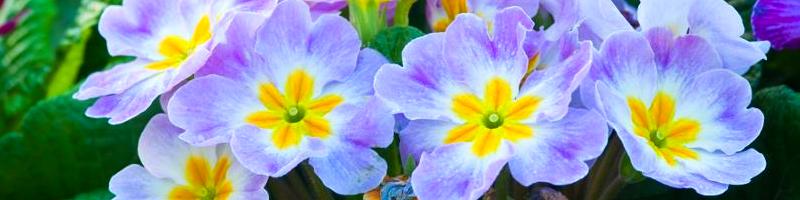 Примула (фото растения)