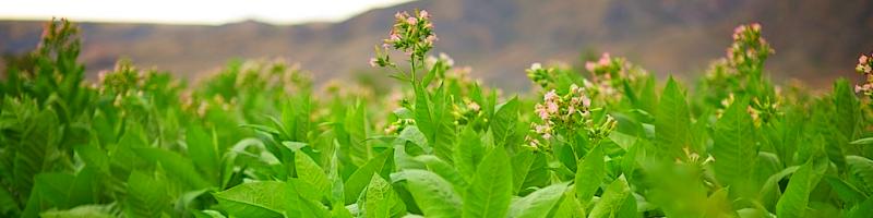 Табак (фото растения)