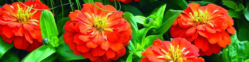 Цинния (фото цветов)
