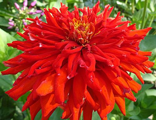 Цинния кактусовидная