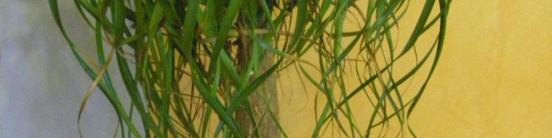 Бутылочное дерево (фото растения)