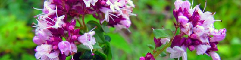 Душица (фото растения)