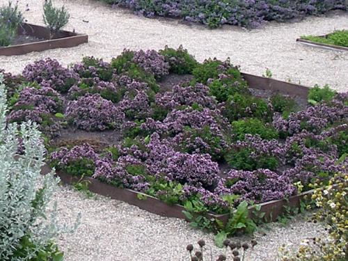 Душица в саду