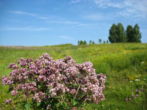 Душица в поле
