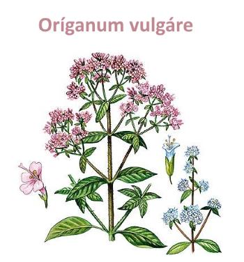 Oríganum vulgáre