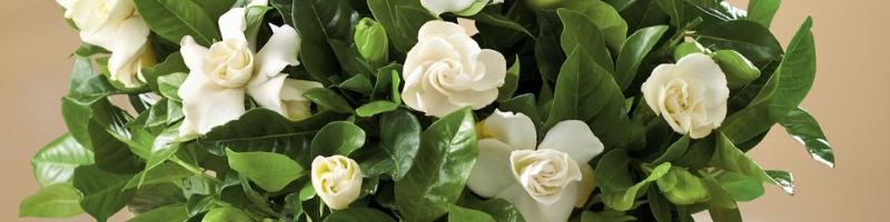 Гардения (фото цветов)