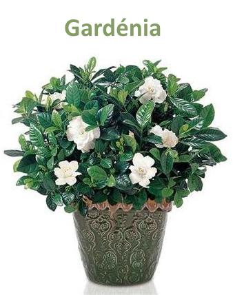 Gardénia