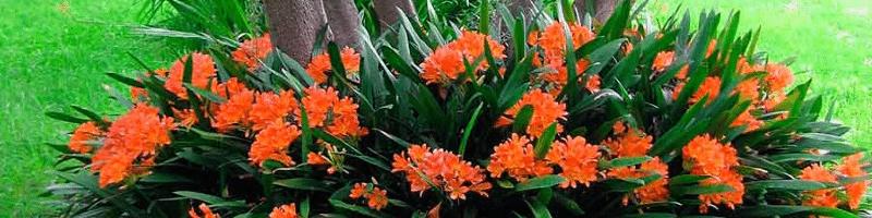 Кливия (фото цветов)