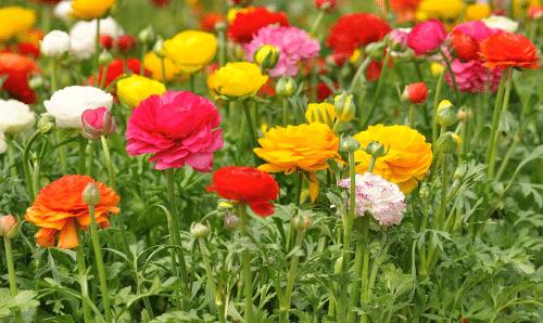 Ранункулюс в саду