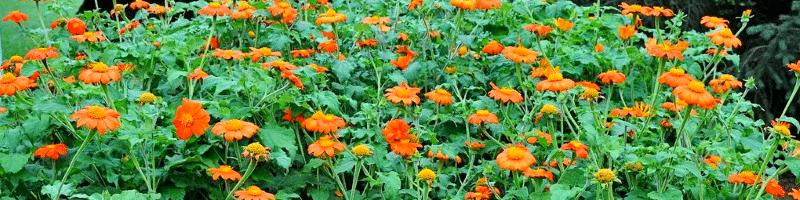 Титония (фото цветов)