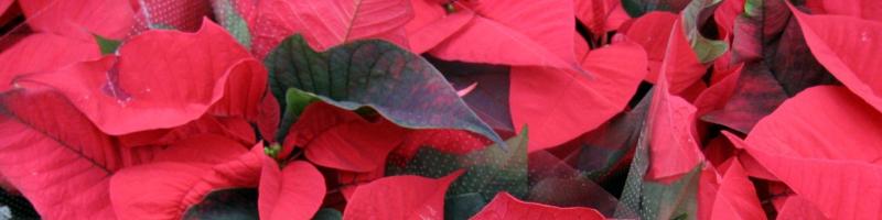 Цветок с красными листьями