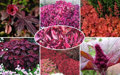 Цветы с красными листьями