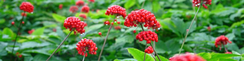 Женьшень (фото растения)