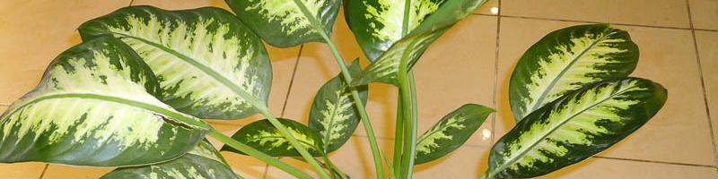 Диффенбахия (фото растения)