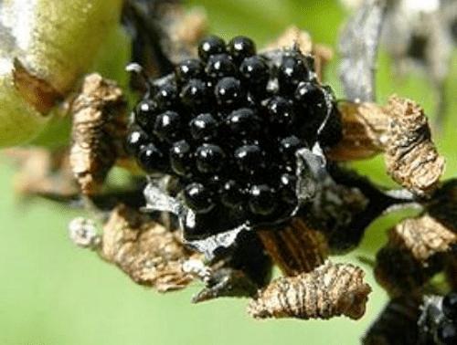 Семенная коробка мухоловки