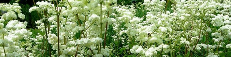 Таволга (фото растения)