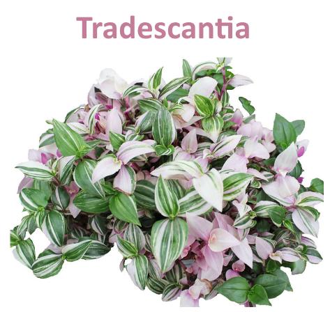 Tradescantia
