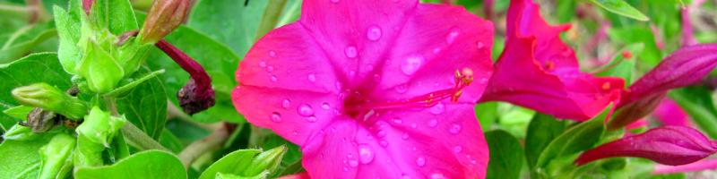 Мирабилис (фото растения)