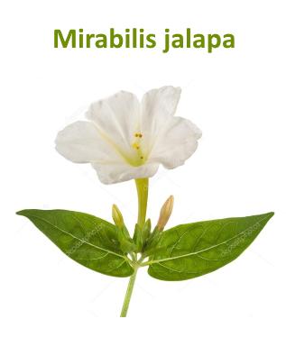 Mirabilis jalapa