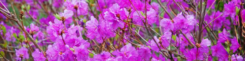 Багульник (фото растения)
