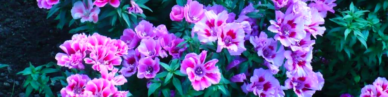 Годеция (фото цветов)