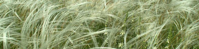 Ковыль (фото растения)