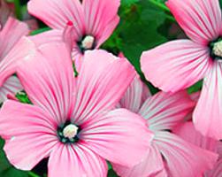 Лаватера (фото цветов)