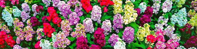 Левкой (фото цветов)