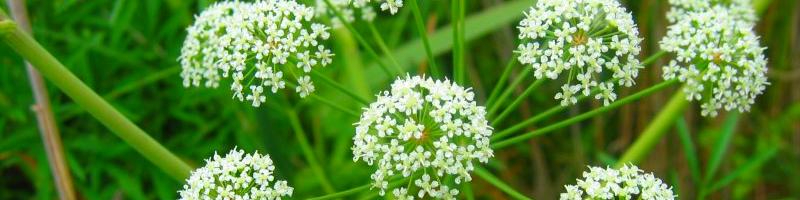 Цикута (фото растения)