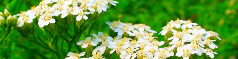 Тысячелистник (фото растения)