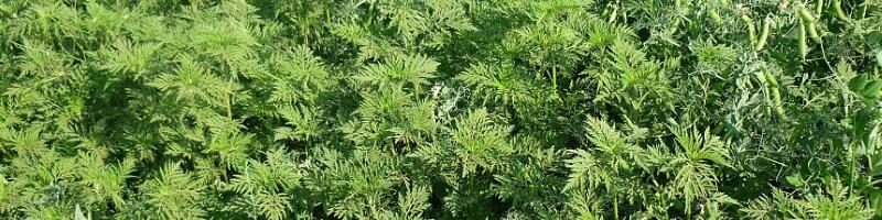 Амброзия (фото растения)