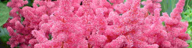 Астильба (фото цветов)