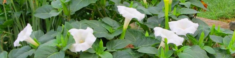 Дурман (фото растения)