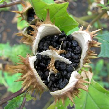 Коробочка с семенами