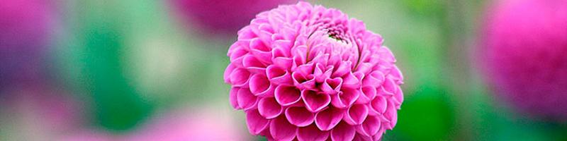 Георгины (фото цветов)