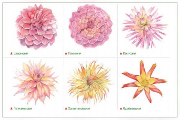 Виды соцветий