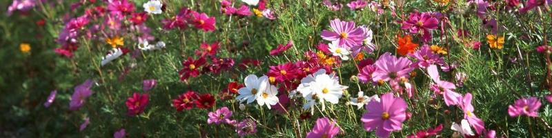 Космея (фото цветов)