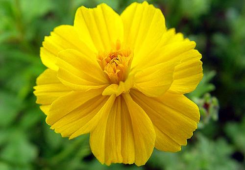 Серно-желтая