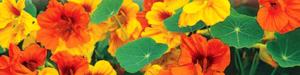 Настурция (фото цветов)