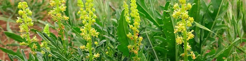 Резеда (фото цветов)