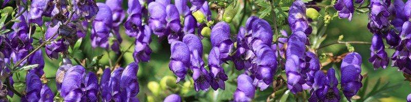 Аконит (фото растения)