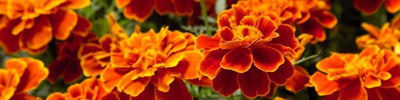 Бархатцы (фото цветов)