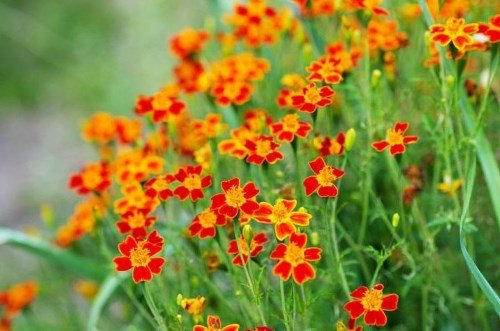 Tagetes tenuifolia Paprika