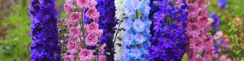 Дельфиниум (фото цветов)