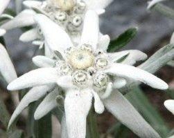 Эдельвейс (фото цветов)