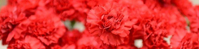 Гвоздика (фото цветов)