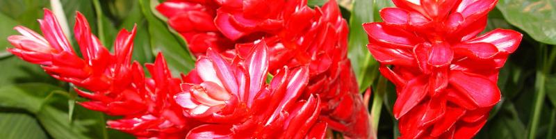 Имбирь (фото цветов)