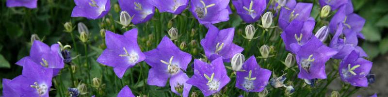 Колокольчик (фото цветов)