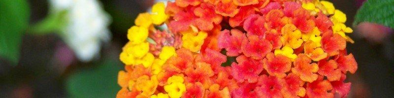 Лантана (фото цветов)
